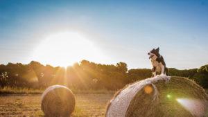 Southwest Missouri family dog sitting on some hay